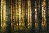Pinienwald im herbst — Stockfoto