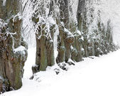 Old trees i winter — Foto Stock
