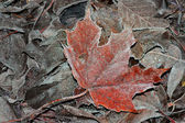 Frozen maple leaf — Stock Photo