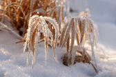 Dry grass in rime frost — Stock fotografie