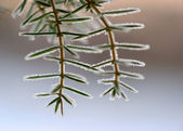 Juniper needles with ice — Stock Photo