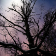 Bare tree in moonshine — Stock Photo #8974550