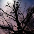 Bare tree in moonshine — Stock Photo