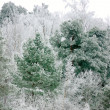 Pine tree in winter landscape — Stock Photo