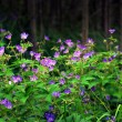 Bunch of wood cranesbill — Stock Photo