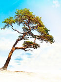 Conifer on bright blue sky — Stock Photo