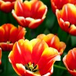 Red and yellow tulip — Stock Photo #9737023