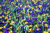 желтый и фиолетовые крокусы — Стоковое фото