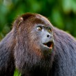 Howling monkey — Stock Photo