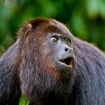 ������, ������: Howling monkey