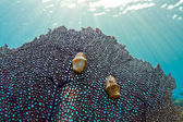 Flamingo tongue Gastropod — Stock Photo