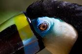 Blue toucan eye — Stock Photo