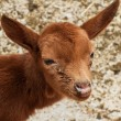 Baby goat — Stock Photo #9961285