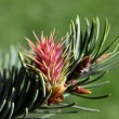 Twig of spruce with red male flower at spring — Stock Photo