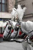 "White ""cab-horses"" with ornamental panaches in Krakow — Stock Photo"