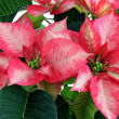 Royalty-Free Stock Photo: Red poinsettia for Christmas