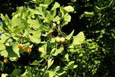 Arbre de ginkgo avec des fruits jaunes — Photo