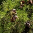 Stock Photo: Pinus tree with cones
