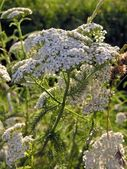 Yarrow herb — Stock Photo