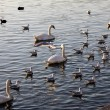 Gulls,swans and ducks on Vistula river in Krakow — Stock Photo