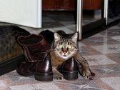 Grå katt och skor — Stockfoto
