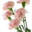 Pink carnations — Stock Photo #9014578