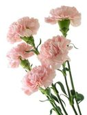 Pink carnations — Stock Photo