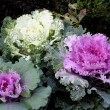 Decorative cabbage plant in Botanic Garden - Foto de Stock  