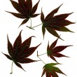 Purple leaves of japan maple tree - Foto de Stock  