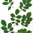 Green leaves of hawthorn isolated - Stock Photo