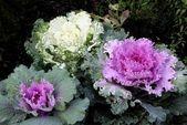 Decorative cabbage plant in Botanic Garden — Stock Photo