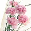 Stock Photo: Posy of pink carnations