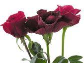 фиолетовый и красный мокрый розы — Стоковое фото