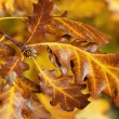 Close up of autumn leaves — Stock Photo #10504635