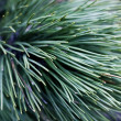 Close up of coniferous needles — Stock Photo