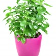 Home plant in flower pot on white background — Stock Photo #10505293