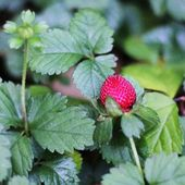 Close up of wild small strawberry — Stock Photo