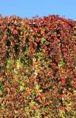 Close up of autumn ivy leaves — Stock Photo