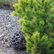 Still life with coniferous tree and decoration — Stock fotografie #8965379