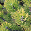 Stok fotoğraf: Close up of coniferous branches