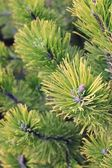 Close up of coniferous branches — Stock Photo