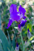 Purple Iris in the garden — Stock Photo