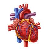 Mänskliga hjärtat — Stockfoto