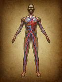 Human Blood Circulation Grunge — Stock Photo