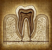 Tooth Anatomy In Grunge Texture — Stock Photo