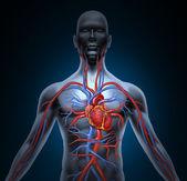 κυκλοφορία της ανθρώπινης καρδιάς — 图库照片