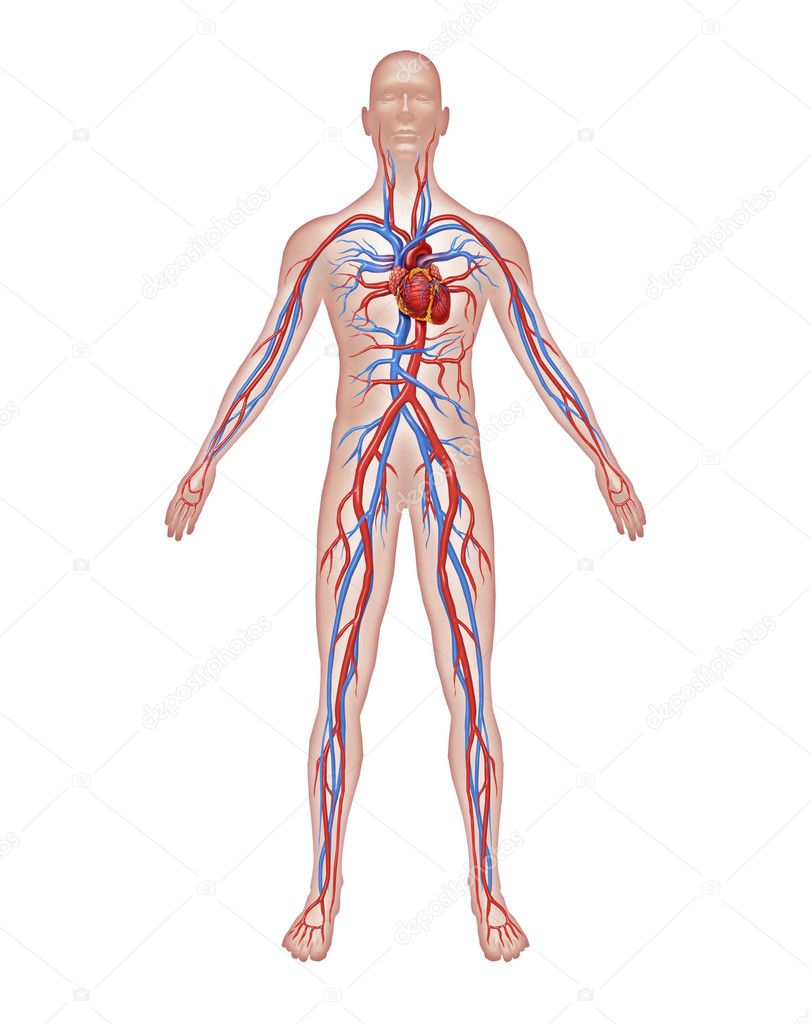 Схема всех артерий организма
