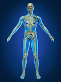 Human Body and Skeleton — Stockfoto