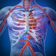 Stock Photo: Human Heart Circulation In a Skeleton