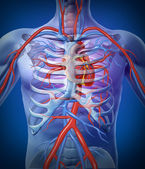 Human Heart Circulation In a Skeleton — Stock Photo